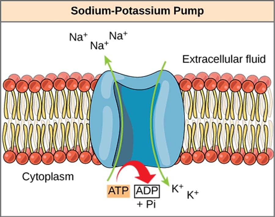 keto electrolytes sodium potassium pump